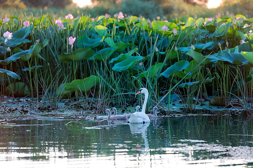Солнца, картинки лебеди на озере с кувшинками