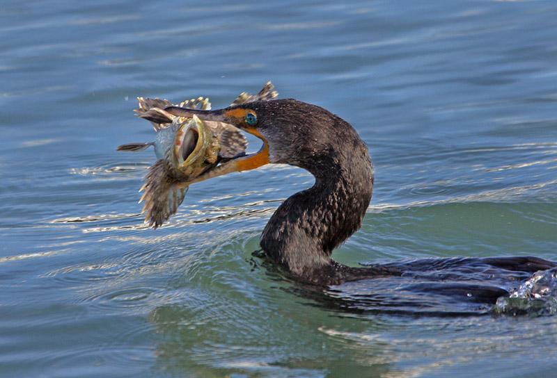 Баклан охотится на рыбу