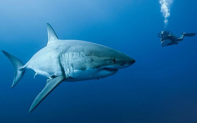Белая акула 1280 кг